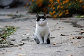 fluffy-white-black-cat-outside