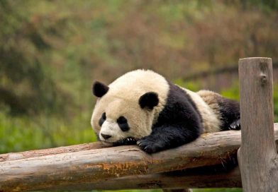 China is Spending $1.5 Billion On Creating New Giant Panda Reserve Three Times the Size of Yellowstone Park
