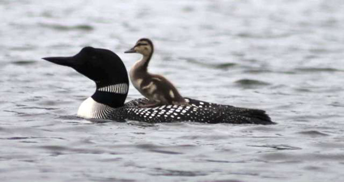 This Loon Couple Lost Their Baby, So They Adopted A Duckling